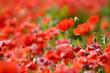 Papaveri rossi fioriti