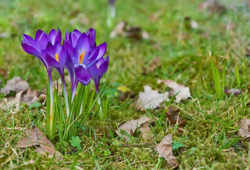 Closeup of purple crocuses in the grass