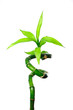 Fototapeten,bambus,blatt,stiel,grün