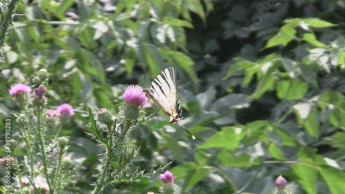Butterfly feeds on milk thistle flower