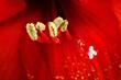 Amarilis in fiore
