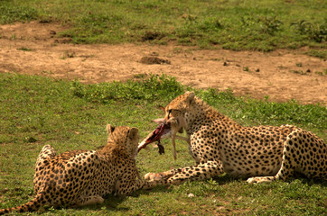 Two cheetahs eating a rabbit in the Serengeti