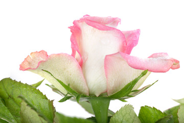 Beautiful rose background with water drops
