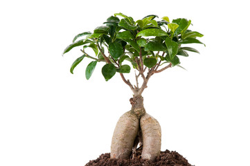 Ficus tree growing in soil, isolated on white