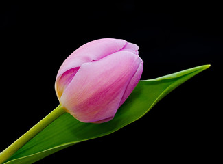 Pink Tulip and a black background