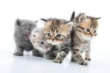 Fototapety group of little kittens