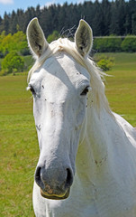 Close portrait of the head of a white horse