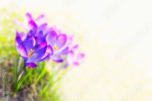 Fotobehang Krokus crocus flowers, backlit