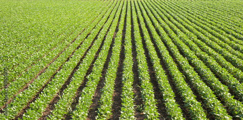 soybean field with rows