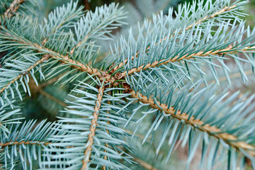 Blue needles on the young branch of the spruce