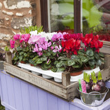 cyclamen in box on window-sill