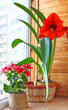 Hippeastrum  and begonia on in a basket on a balcony