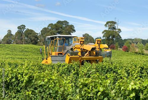 Foto op Canvas Wijngaard Harvesting Grapes