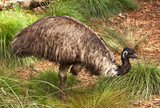 Emu, flightless bird