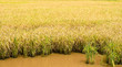 Golden rice field