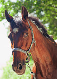 portrait of beautiful bay sportive  mare