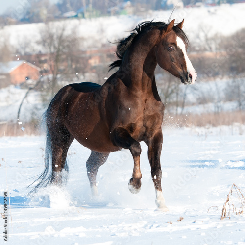 Welsh pony stallion runs gallop in winter