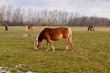 Постер, плакат: Grazing brown horses at a wet grassland