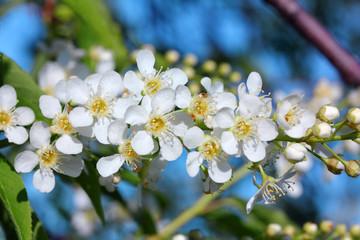 bird cherry tree flowers macro