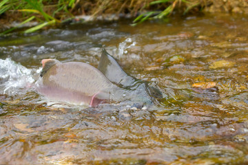 Fighting males of humpback salmon, river headwaters