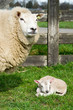 White sheep with lamp