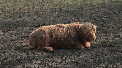 Schottisches Rind auf einem Acker