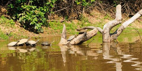 Wild turtles in the Amazon area in Bolivia
