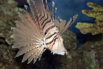 Lionfish in Coral