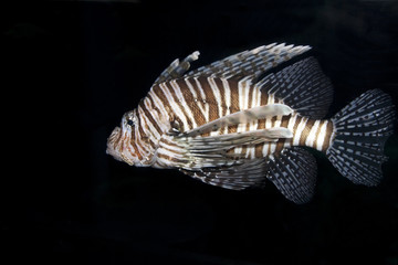 Single Lionfish