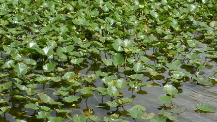 Water lilies in the Florida Everglades