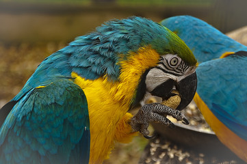 Blue ad yellow macaw cracking a peanut