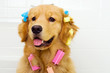 Cute Golden Retriever with Hair Curlers