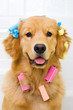 Happy Golden Retriever getting groomed with hair curlers