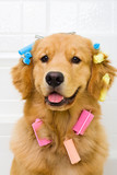 Funny dog with colorful hair curlers - 39880044