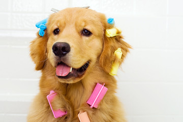 Cute Golden Retriever with Hair Curlers