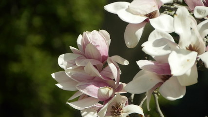 Magnolia flowers swaying in breeze