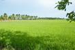 rice field-2