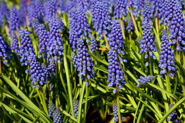 Muscari botryoides flowers, also known as blue grapes