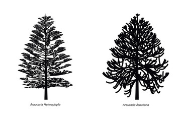 Two Different Araucaria Species Illustration