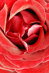 blooming red rose flower closeup macro