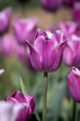 purple tulip flower plant