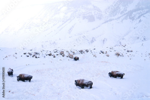 Deurstickers Bison Buffalo covered in snow