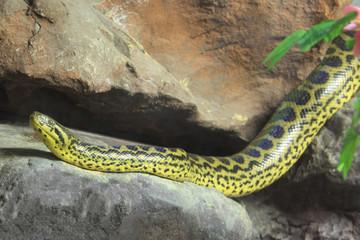 Yellow Anaconda [ Eunectes notaeus ] on the rock.