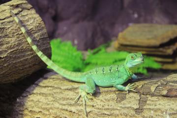 Green Basilisk Lizard (Basiliscus plumifrons)