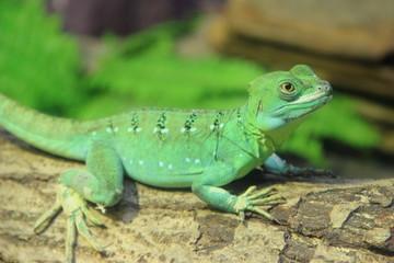 Green Basilisk Lizard (Basiliscus plumifrons) stand on the log