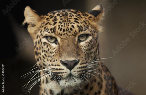 Fototapeten,leopard discus,zahn,auge,braun