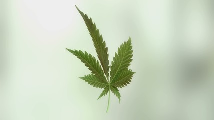 Marijuana leaf rotation