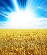 sunlight wheat