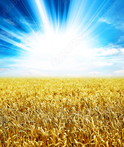 sunlight wheat
