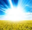 sunlight yellow crops